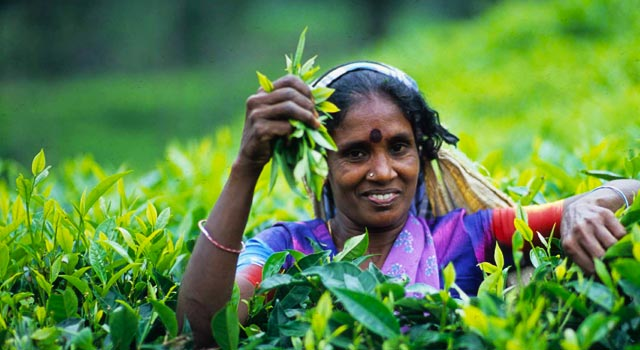 TEA PLUCKING AND USE OF SHEARS